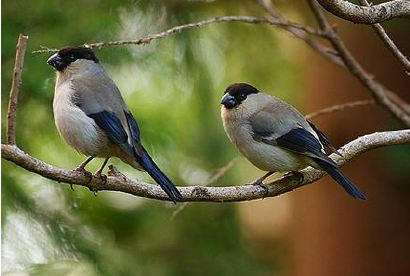 Photo of Azores bullfinches