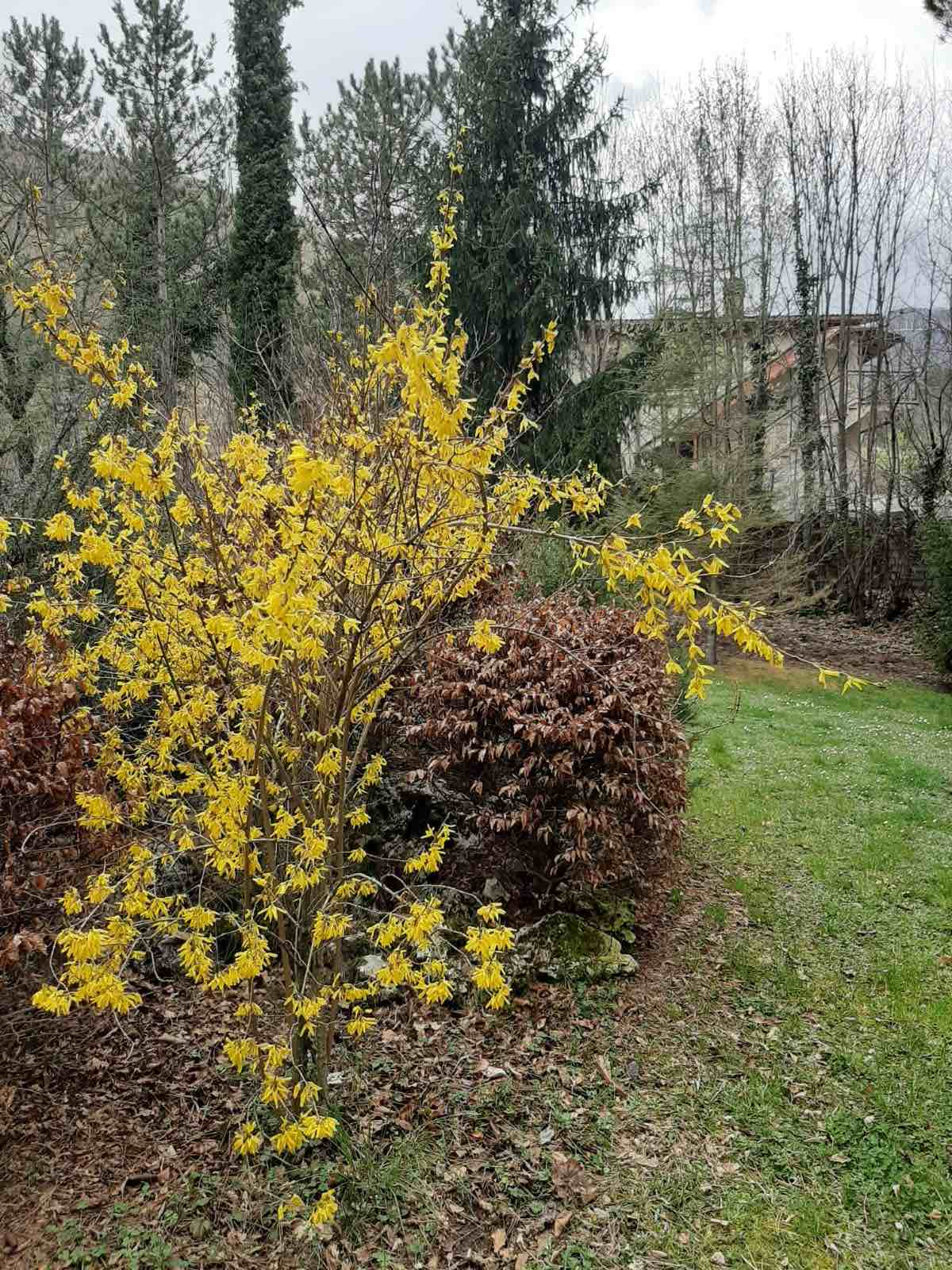 image of garden with forsythia in bloom, A-G Laura.